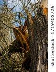 Dry Thick Huge Broken Tree ...