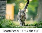 Gray Cat Walking Outside On A...