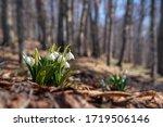 Fragile White Flowers Leucojum...