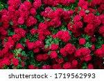 Beautiful Rose Bush In The...