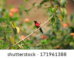 Small photo of Black-throated Sunbird (Aethopyga saturata) male in South Vietnam