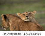 A Lion Cub Resting On Others...
