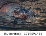 Portrait Of The Hippopotamus...