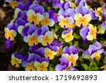 Viola Tricolor  Beautiful...