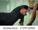 Portrait Of Palm Cockatoo ...