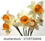 Narcissus Bouquet Isolated On...