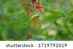 A Clouded Sulphur Butterfly...