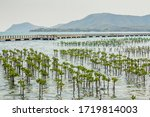 Mangrove Tree Of Mangrove...
