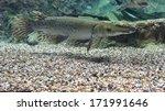 Alligator Gar (atractosteus spatula) from the side