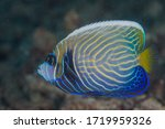 The Emperor Angelfish ...