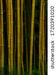 High Yellow Bamboo Trees...