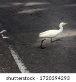 Small photo of Blurred bird quickly crosses road. White Heron crosses road afoot in front of transport what is unusual and dangerous. Long lens to capture dynamics of. Traffic regulations, traffic violation concept