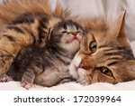 Lovely Siberian Cat With...