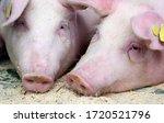 Landras Pig Resting In A Pigst...