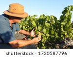 Australian farmer checking wine grapes corps growing in a vineyard in Swan Vally near Perth in Western Australia