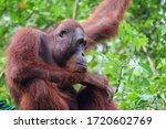 Wild Adult Male Orangutan...