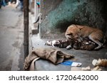 An Indian Street Dog Feeding...