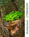 Tree Trunk With Clover In A...