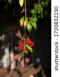 Small photo of A dangling, centre of frame branch of unripe pink lilly pilly tree fruits, a very juicy bush tucker food.