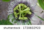 Passion Flower On Passion Fruit