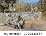 Baboons Group Along The Street...