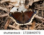 A Slightly Worn Mourning Cloak...