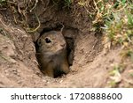 Ground Squirrel In A Meadow