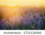 Beautiful Lavender Fields At...