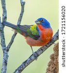 Male Painted Bunting Looking...