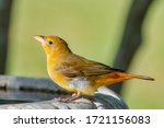 Female Summer Tanager Getting...