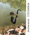 Two Black Swans Float In The...