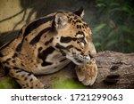 Clouded Leopard Portrait  ...