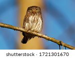 Eurasian Pygmy-Owl - Glaucidium passerinum sitting on the branch with the prey in the forest in summer. Small european owl with the green background.