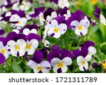 Purple Violet Pansies  Tricolo...