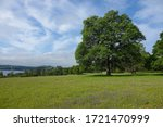 Giant Oak Tree In Rattlesnake...