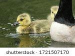 Two Sweet Canada Geese Goslings ...