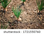 close up of growing onion... | Shutterstock . vector #1721550760