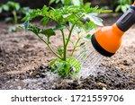 Watering Seedling Tomato Plant...