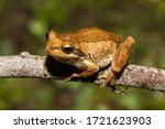 Brown Tree Frog Resting On Tre...