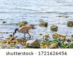 Baby Canada Geese Appear To...