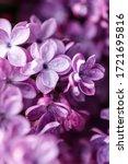Lilac Background. Purple Lilac...