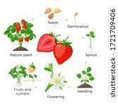 strawberry plant growing stages ... | Shutterstock .eps vector #1721709406