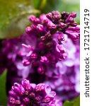 A Bouquet Of Lilacs. Purple...