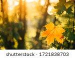 Autumn Yellow Maple Leaf Among...