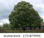 Flowering  White Horse Chestnut ...