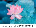 Lotus Flower Blooming In Summer ...