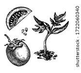 hand drawn tomato. vector...   Shutterstock .eps vector #1722060340