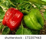 red and green bell peppers... | Shutterstock . vector #172207463