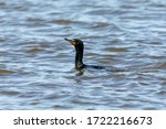 Double Crested Cormorants On...