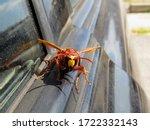 Murder Hornets Vespa Mandarinia ...